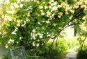 JDP Le jardin de roses (3)