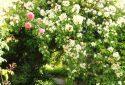JDP Le jardin de roses (4)