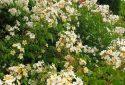 JDP Le jardin de roses (5)