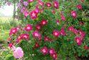 Rosa-arkansana-dans-le-rosarium