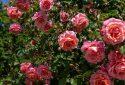 Route de la Rose - Jardin des plantes Orléans - Crédit photo = IOAproduction - Sébastien Richard (15)